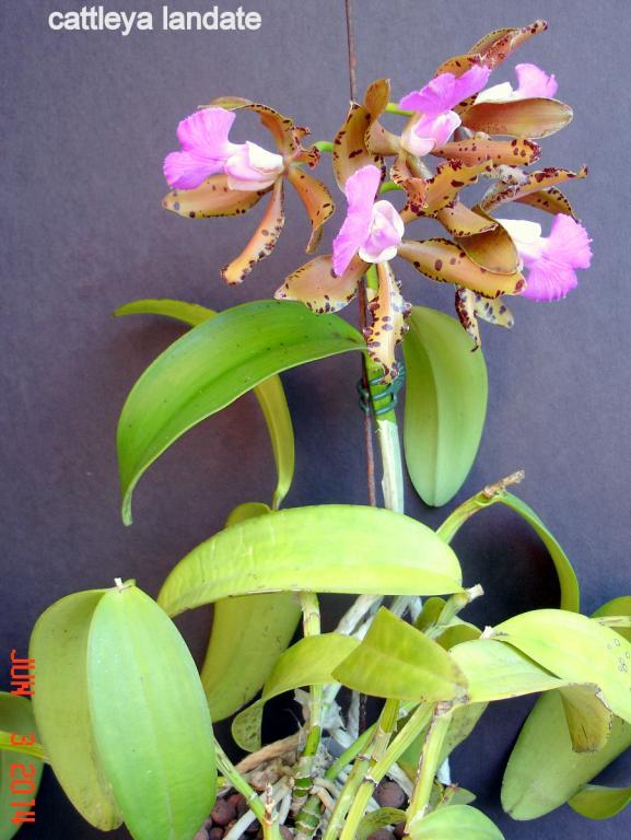 cattleya landate in bloom...-dsc01075-001-jpg