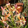 Ascofinetia Peaches - Weird color breaks-asfnta-peaches-dscn9876-cu-50pct-jpg