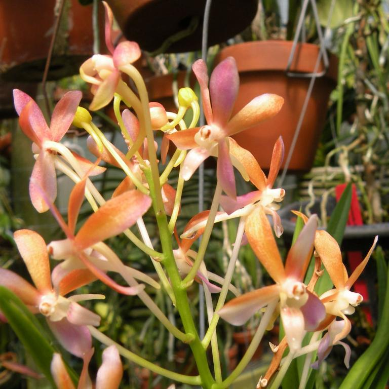 Ascofinetia Peaches Life Orchid Plant
