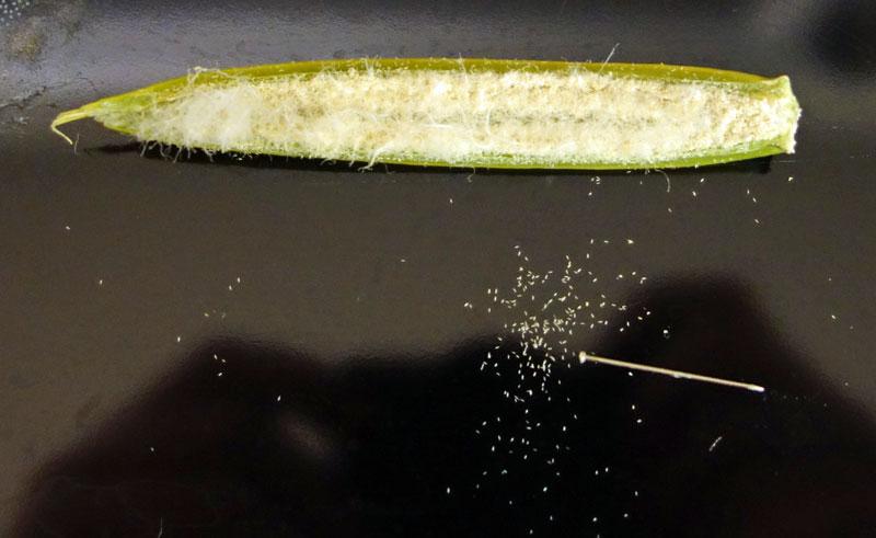Green Seed Pod Flasking - Phalaenopsis-dsc00146-jpg