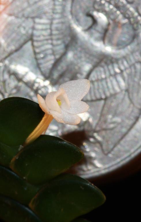 Angraecum distichum-img_7399-jpg