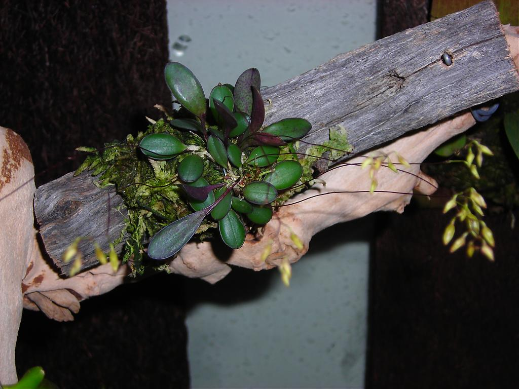 Pleurothallis grobyi-dscn1209-jpg