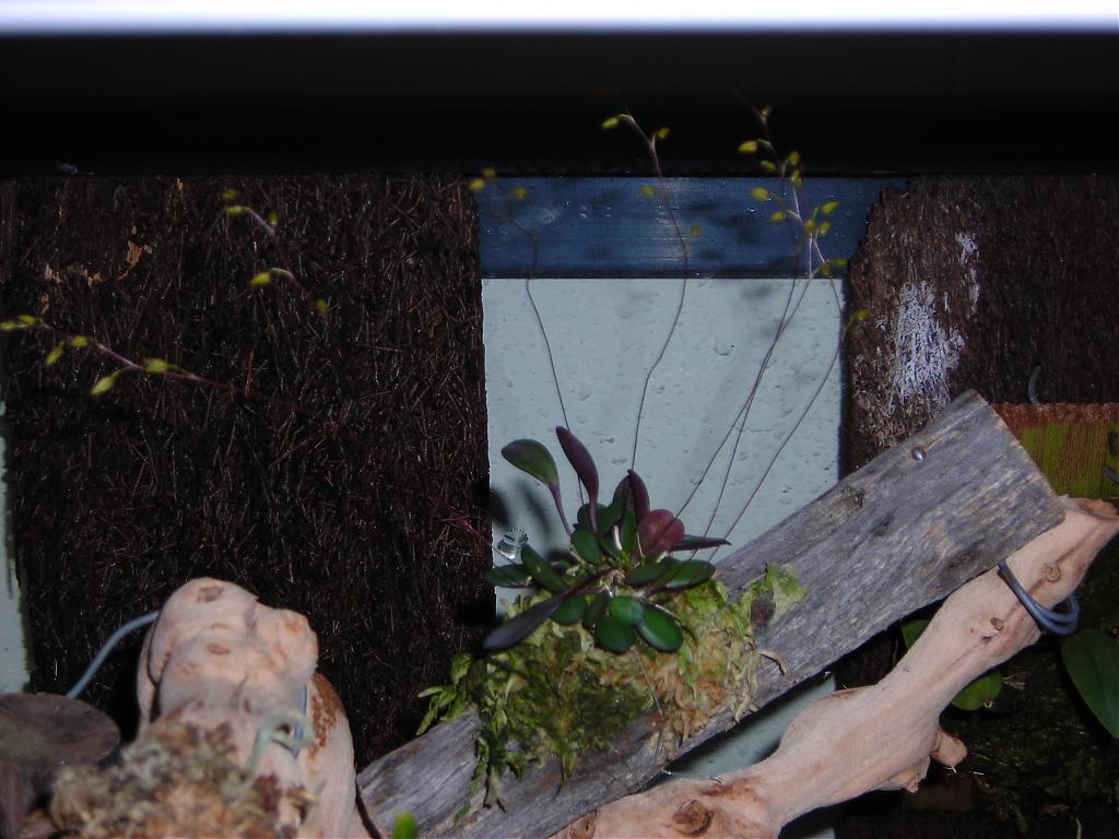 Pleurothallis grobyi-dscn1210-jpg