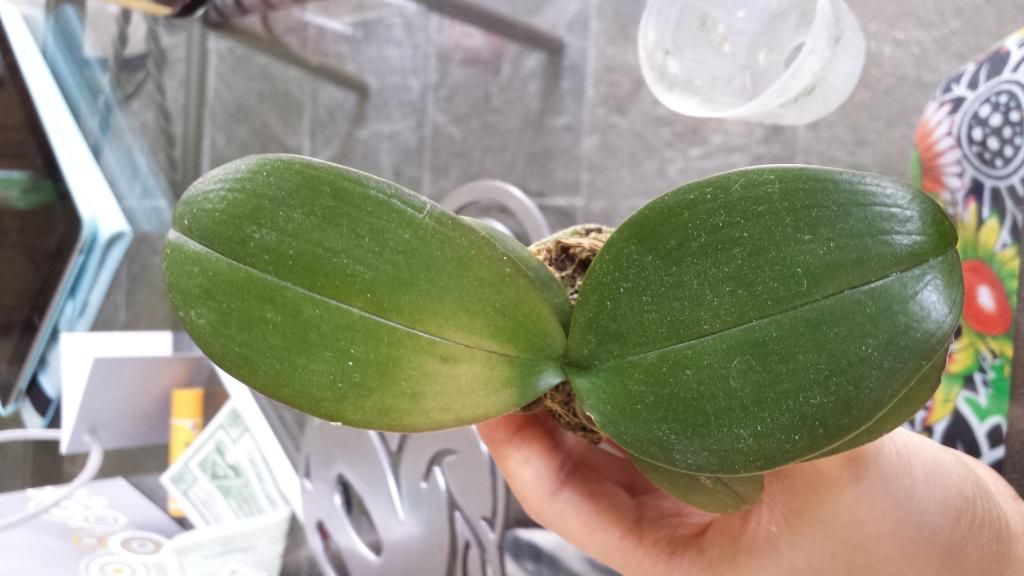 Rejuvenating Stressed Orchids Part 1 Limp Leathery Leaves