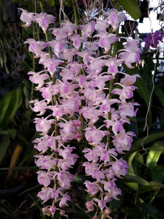 Aerides houlletiana x odorata First Bloom-aerideshoulettianxodorata-3-jpg