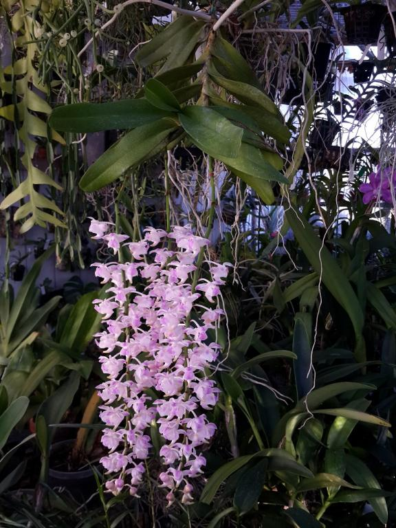 Aerides houlletiana x odorata First Bloom-aerideshoulettianxodorata-1-jpg