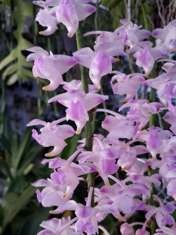 Aerides houlletiana x odorata First Bloom-aerideshoulettianxodorata-2-jpg