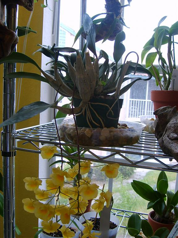 """Let's Play """"Name That Orchid""""!!-dendrobium-aggregatum-bloom_1-jpg"""