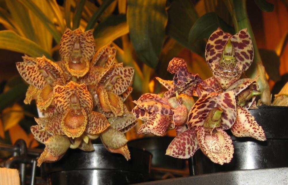 Catasetum denticulatum-ctsm-denticulatum-vs-ds-jpg