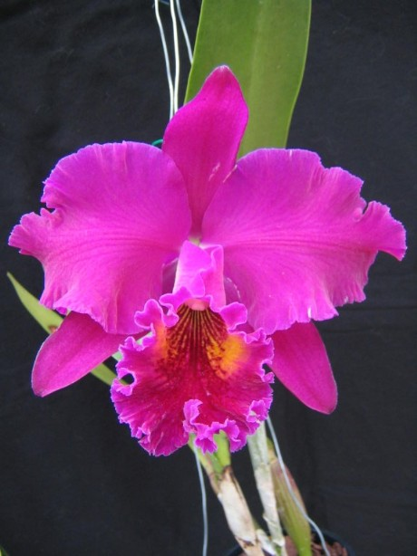 Blc. King of Taiwan 'Chang Ju'-blckingoftaiwanimg_5257-jpg