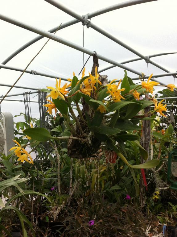 Bc. Daffodil-image-jpg