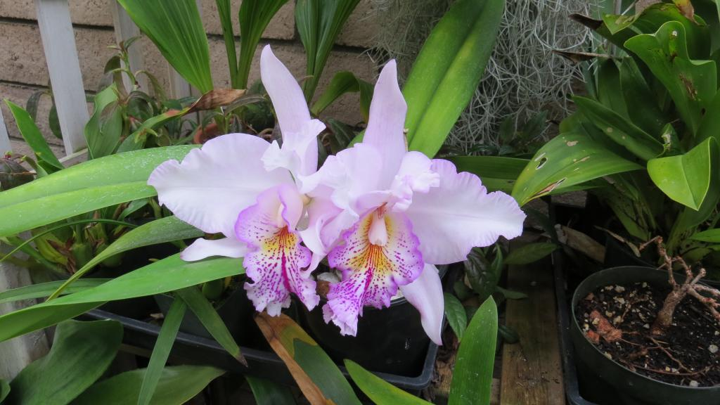 Lc. Ballet Folklorico 'Eloquence' (Lc. Song of Norway x L. grandiflora)-img_3410-jpg