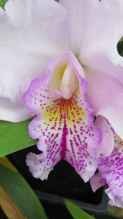 Lc. Ballet Folklorico 'Eloquence' (Lc. Song of Norway x L. grandiflora)-img_3414-jpg