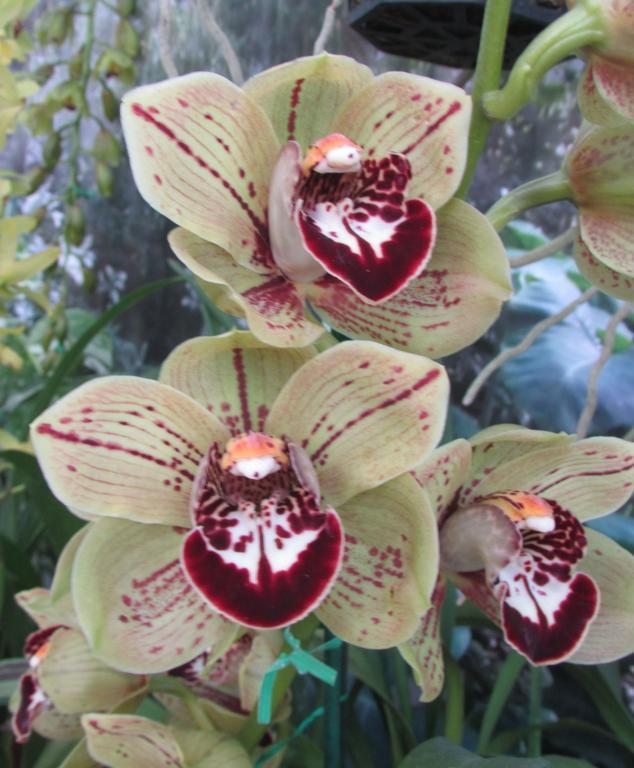 Cymbidium - Flowers with spots-cym-robin-freckles-img_1258-crop-jpg