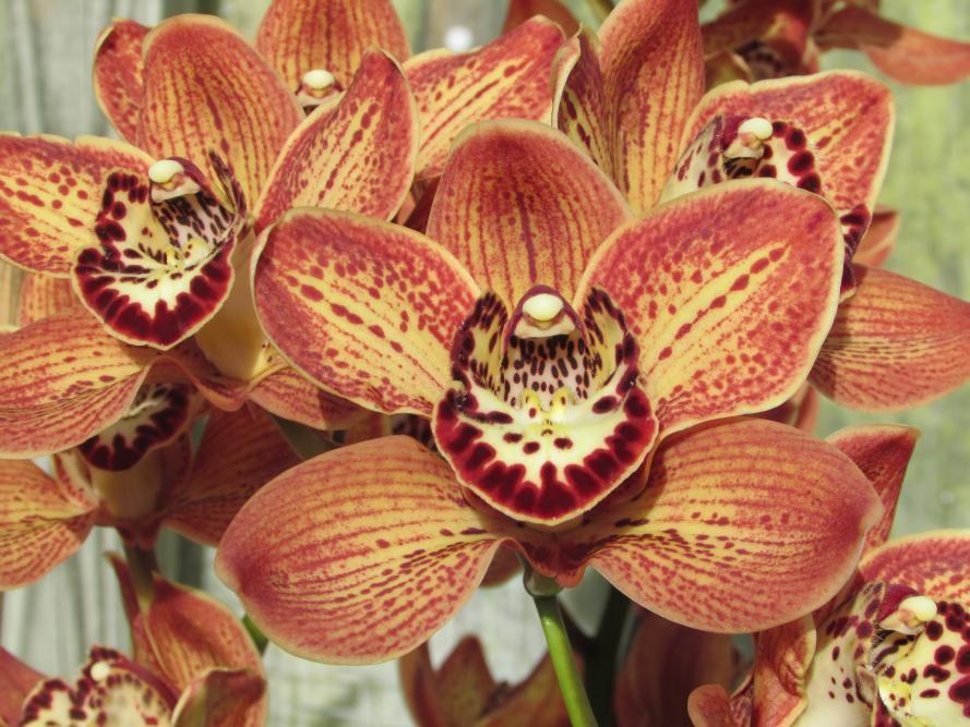 Cymbidium - Flowers with spots-cym-dosido-freckleface-hcc-aos-img_0842-jpg