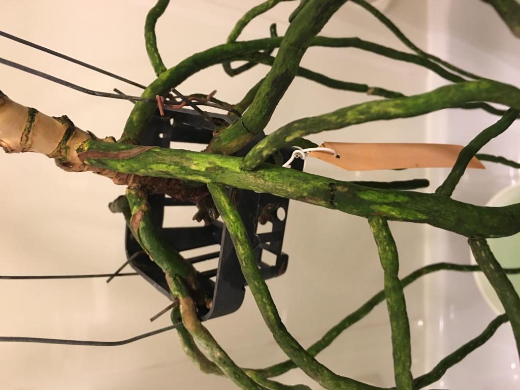 Dry / dehydrated vanda roots-img_1612-jpg