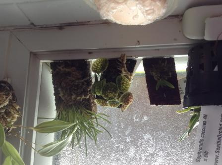 Crazy blooming lepanthes calodictyon-image-jpg