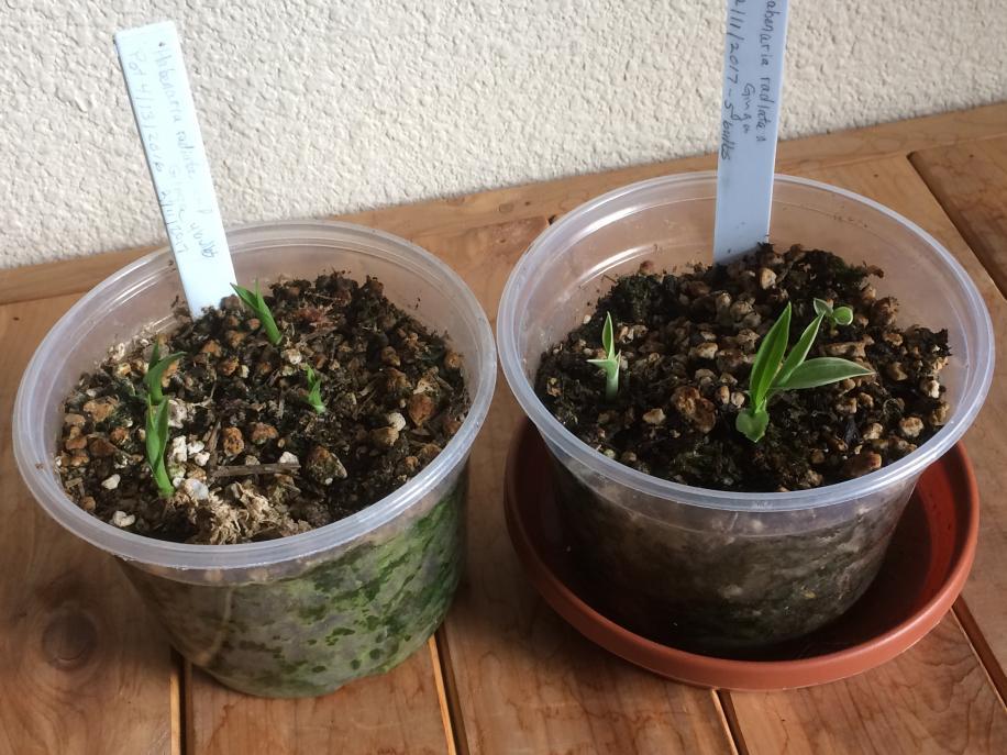 Habenaria radiata tubers arrived from Kusamono Gardens-img_1072-jpg