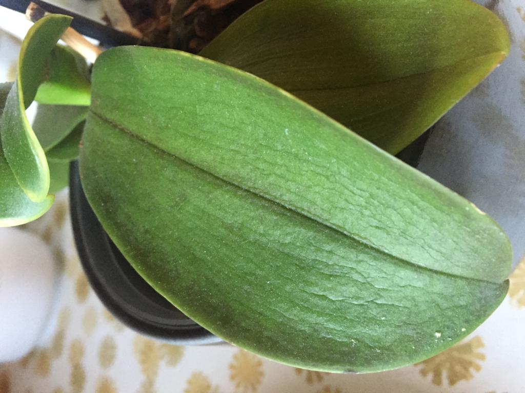 Wrinkly leaves and brown stem on my phalaenopsis?-img_3378-jpg