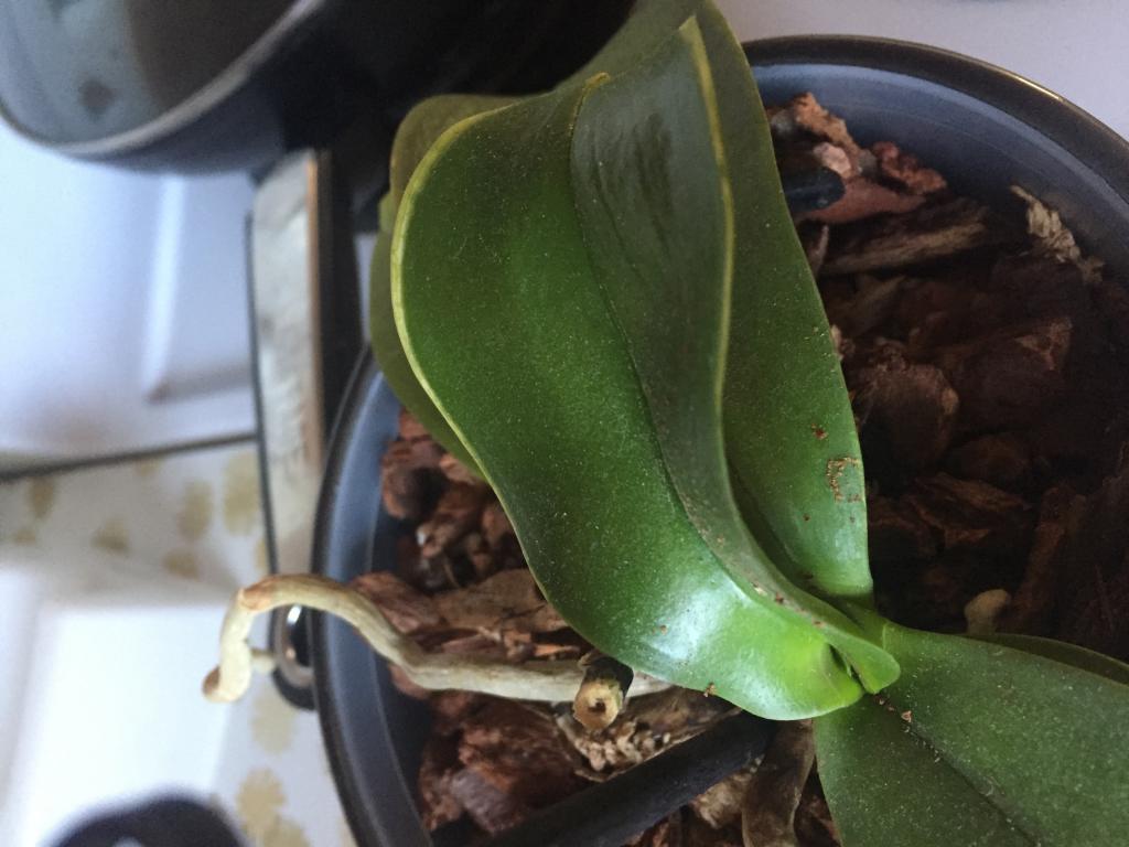 Wrinkly leaves and brown stem on my phalaenopsis?-img_3379-jpg