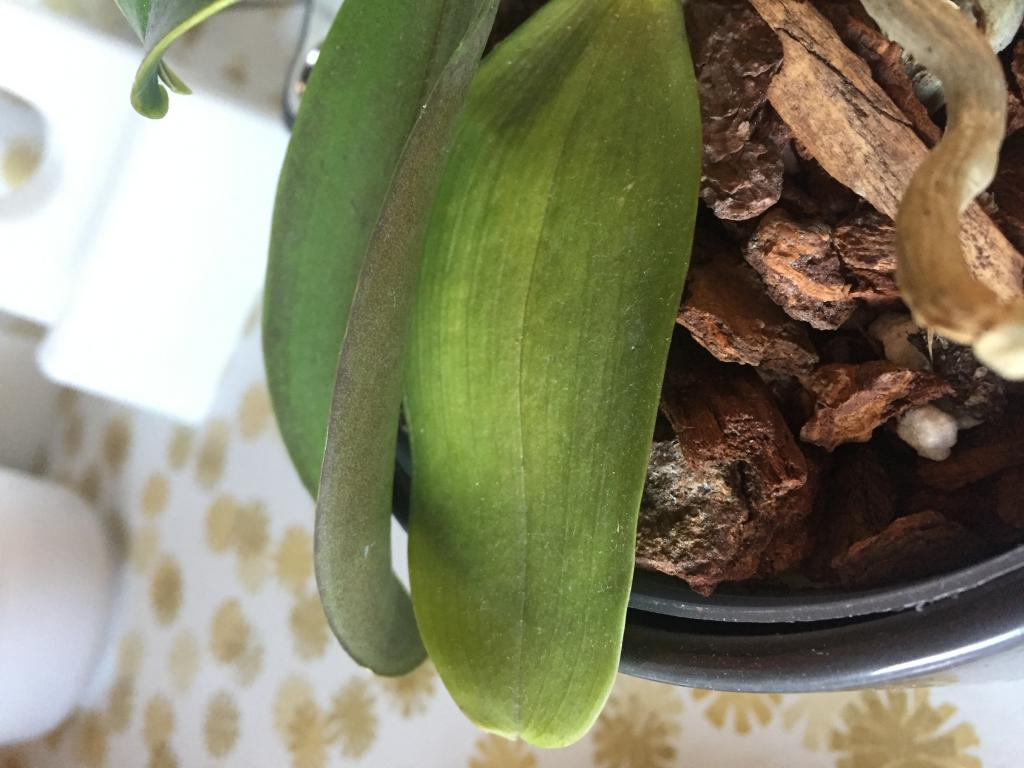 Wrinkly leaves and brown stem on my phalaenopsis?-img_3380-jpg