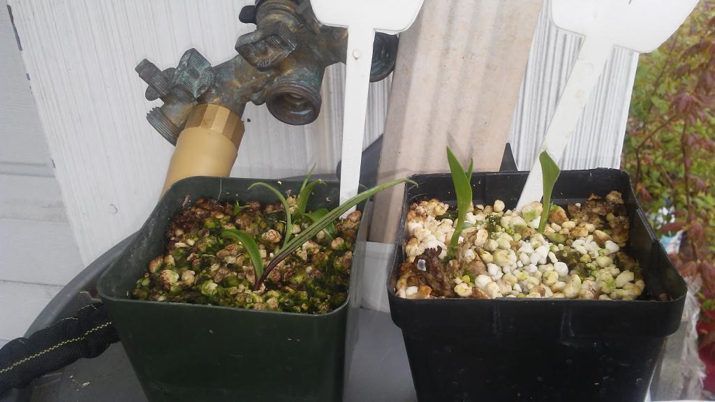 Habenaria radiata tubers arrived from Kusamono Gardens-20170422_134918-jpg