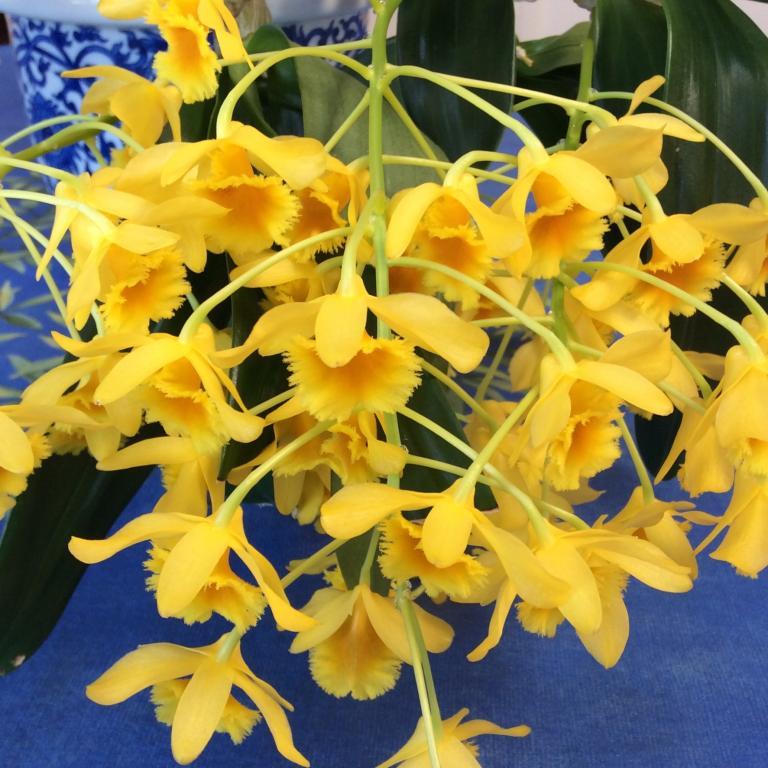 Dendrobium chrysotoxum-img_5862-jpg