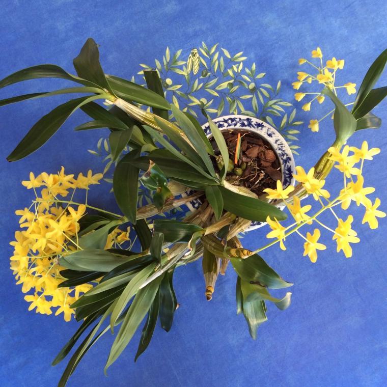 Dendrobium chrysotoxum-img_5859-jpg