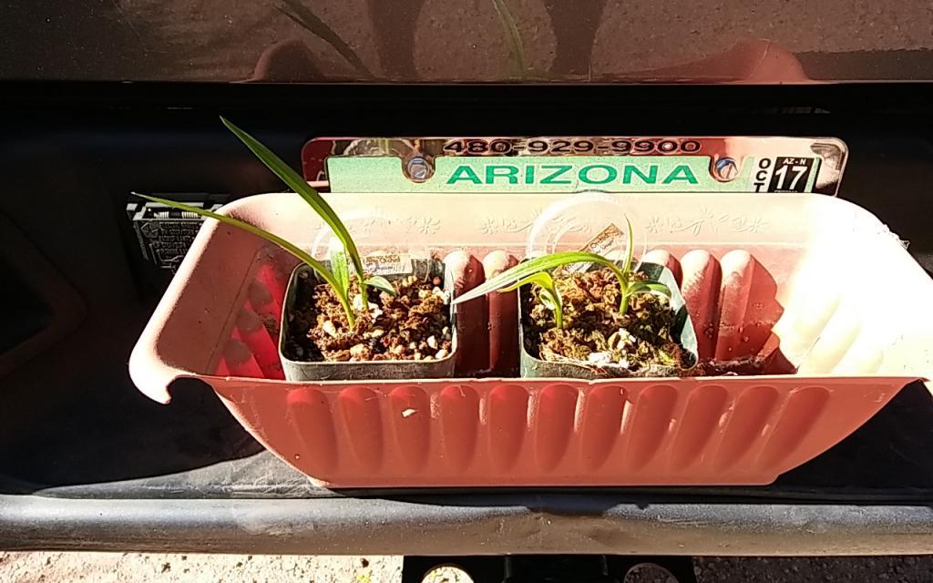 Habenaria radiata tubers arrived from Kusamono Gardens-habenaria_radiata_kusamono_gardens_20170429_seca-jpg