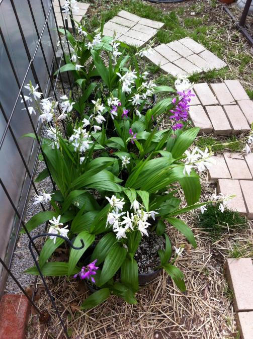I think my Bletilla striata entered the growing phase-img_3037-jpg