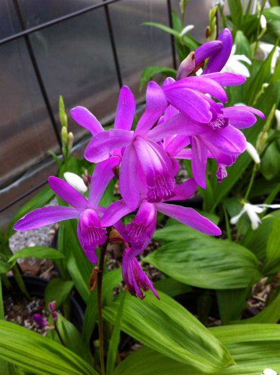 I think my Bletilla striata entered the growing phase-img_3001-jpg