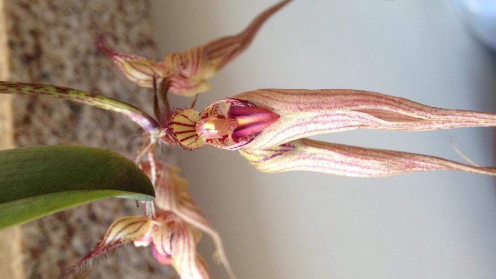 Bulbophyllum Louis Sander in bloom-img_5320-jpg