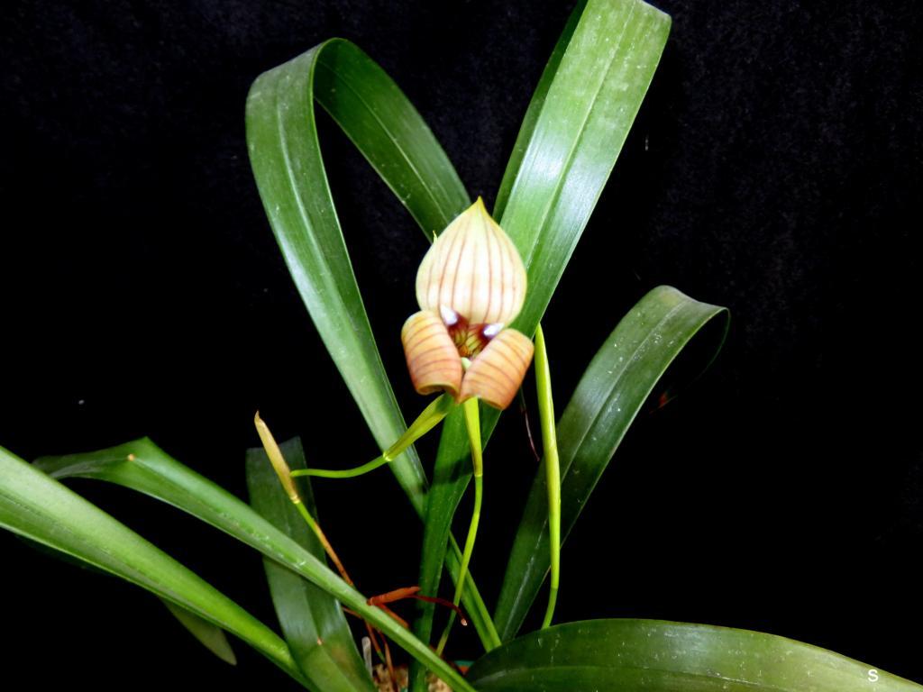Trigonidium egertianum-trgagr05173-jpg