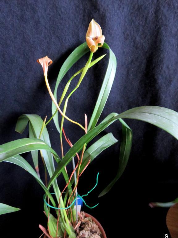 Trigonidium egertianum-tragr05175-jpg