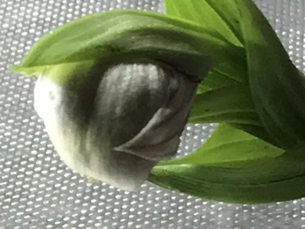 Cypripedium-img_0206-jpg