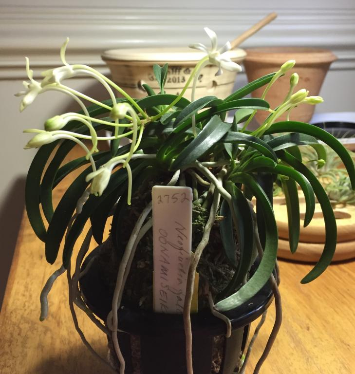 My first ever Neofinetia is blooming at last-img_1781-jpg