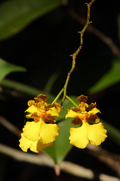 Wild Orchids in the Amazon-img_0632-crop-jpg
