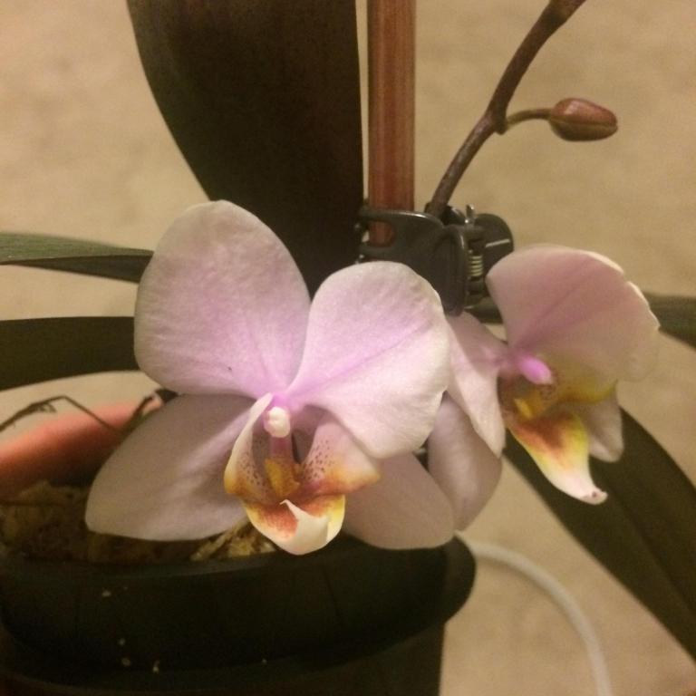 First rebloom - weird four-petal flowers!-ub9keqk-jpg