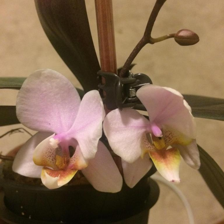 First rebloom - weird four-petal flowers!-txkvume-jpg