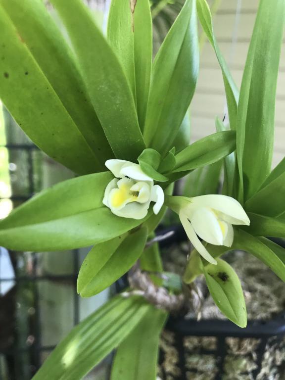 Maxillaria Camaridii-img_3677-jpg