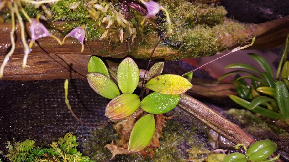 Porroglossum meridionale leaf problem-20170706_175700-jpg