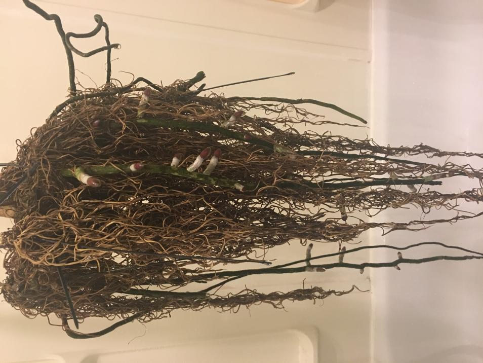 Dry / dehydrated vanda roots-img_2044-jpg