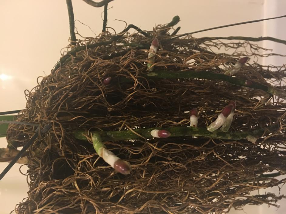 Dry / dehydrated vanda roots-img_2043-jpg