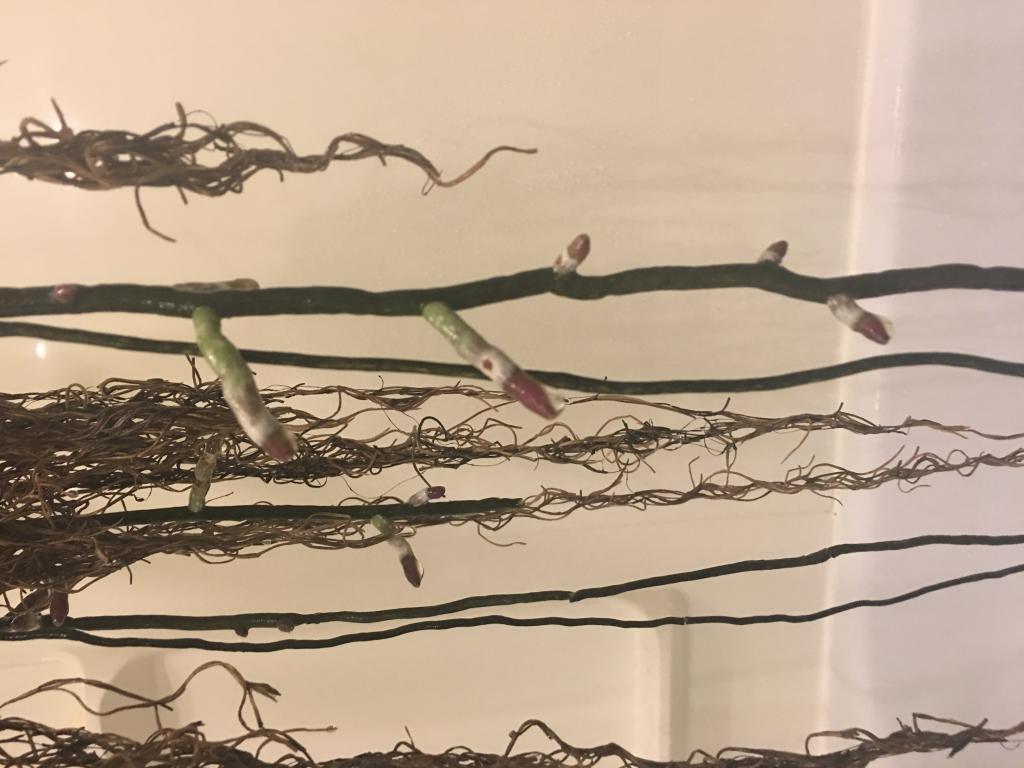 Dry / dehydrated vanda roots-img_2042-jpg