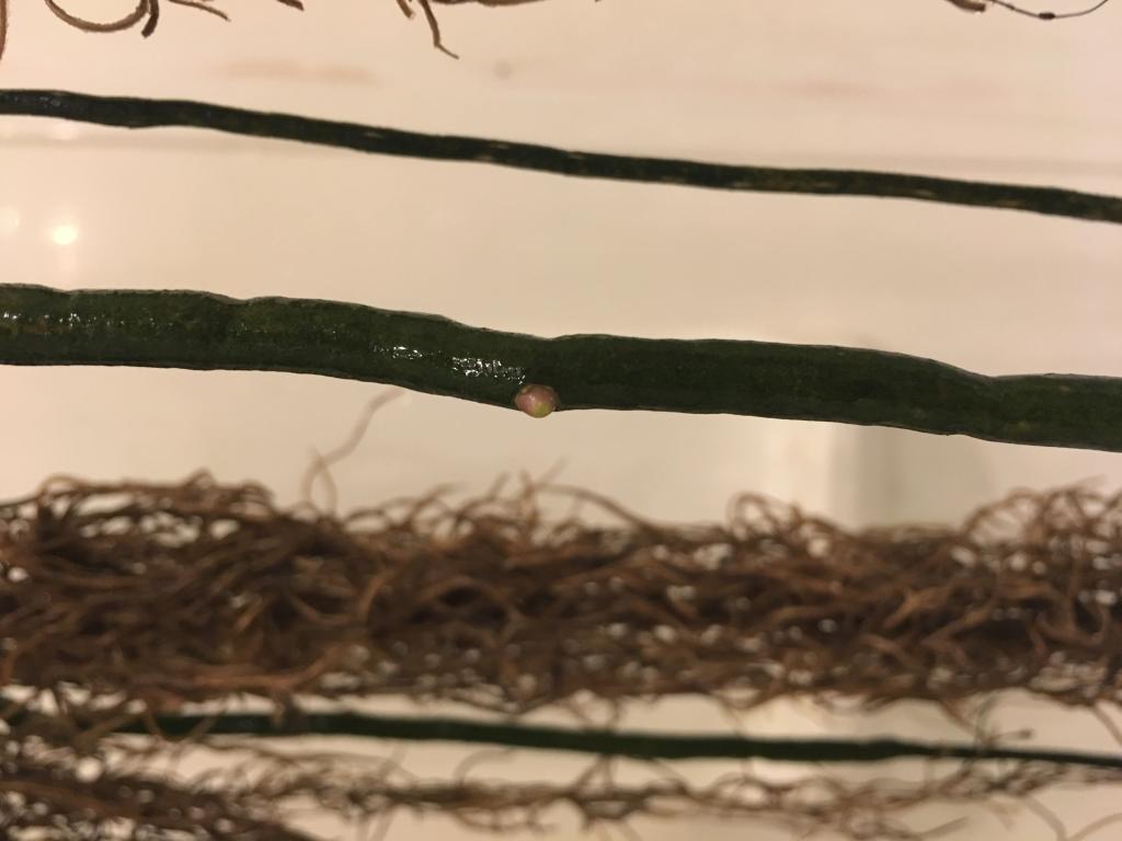 Dry / dehydrated vanda roots-img_1896-jpg