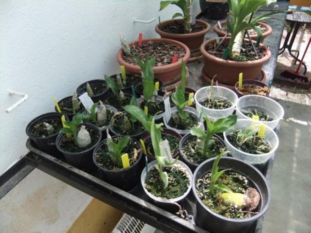 Mormodes keikis?-catasetum-seedling-tray-jpg