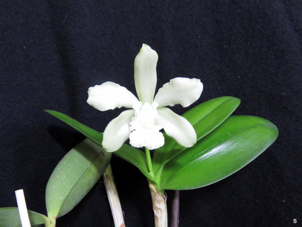 Cattleya leopoldii-cattigr08173-jpg