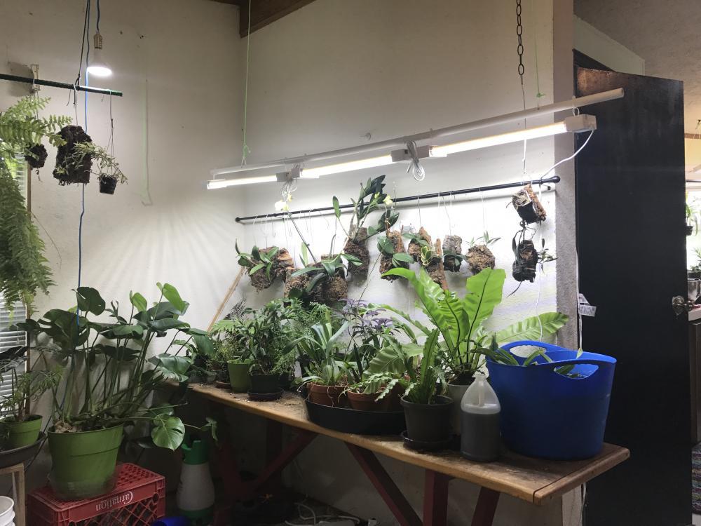 LED/CFL lights for Cattleyas-img_2096-jpg