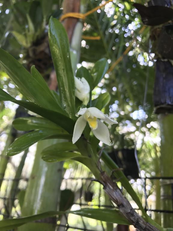 Maxillaria Camaridii-img_4092-jpg
