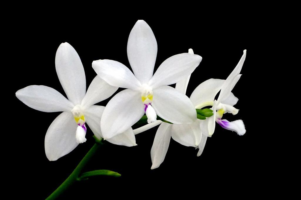 speciosa or tetraspis-orchids-phalaenopsis-speciosa-jpg
